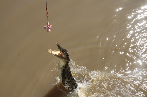 A hungry croc closes in on his feed.